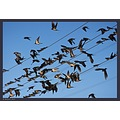 Barn swallows...