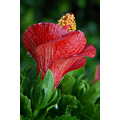 red hibiscus blossom flower colgdrew