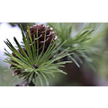 Nature jaroslavas close up macro garden zoom pine