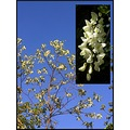 blacklocust tree flower white nature