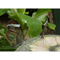 transparent butterfly nectar eater