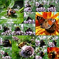 Collage insects flower butterfly hoverfly bumblebees