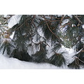 snow evergreen winter tree NiagaraFalls Canada