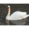 swan wildfowl birds
