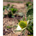 Strawberry Flower Iran Nature