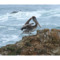 Christmas Eve Dancing Pelican