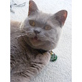 british shorthair kitten cat feline animal pet