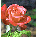 Red Rose Bud imerging