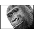 Gorilla animal bw