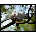 bird birds doves collareddoves nature carlsbirdclub somerset somersetdreams