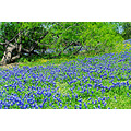 Bluebonnet Flower Texas Pankey Wildspirit Plant blue