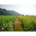 landscape flower nature sunflower thailand poulets 2007