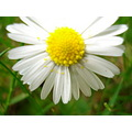 Nature Daisy Plant Flower Gillards Macro Yellow Petal Flower