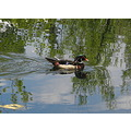 reflectionthursday wood duck botanic garden Albuquerque NM USA