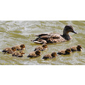 ducklings family swim water bird nature