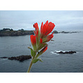 Mendocino Indian Paintbrush at Caspar, CA