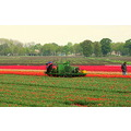 cutting bulbfield tulips groningen holland