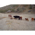 cows cattle ranch wildlife