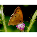butterfly nature mariamel