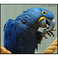 stlouis missouri us usa zoo animal bird Hyacinth Macaw 2007