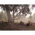 Sheep Australia duststorm dusk