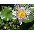 flower water lilly