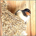 swallow bird nest