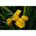 yellow iris jennets bideford north devon flag