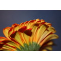 gerbera orange flower