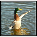 mallard drake duck bird nature carlsbirdclub somerset somersetdreams