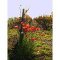 autumn France november wineyard poppies flowers nature countryside