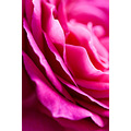 nature flower closeup rose pink petals macro abstraction love