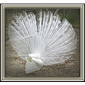 """The End""   (same white peacock as in previous photo).  Thanks for all the nice comments on the p..."
