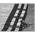 carlsbirdclub black and white sparrow shadow