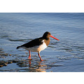 bird oystercatcher