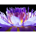 LOTUS FLOWER PURPLE NATURE INDONESIA SAHASRARA