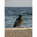 bird sea adriatic blue pigeon