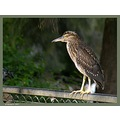 A young Night Heron