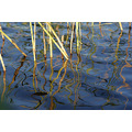summer water macro marttaru reed reflectionthursday sun green