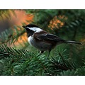 chestnutbacked chickadee Burnaby BC Canada