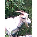 goat animal cute