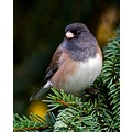 Oregon Junco DarkEyedJunco Bird Burnaby BC Canada