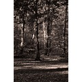 woodland beech birch mono