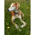 dog kes saluki meadow summer