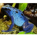 dendrobates azureus poison arrow frog blue