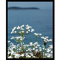 trikeri mikra sea white flower greece springbook