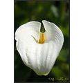 Flower Lilly Tralee Kerry Ireland Peter OSullivan