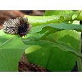 Spitfire Caterpillar plant weed feed garden home perth littleollie