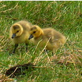 Two new born goslings out exploring their world