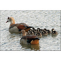 birds egyptian geese family